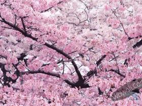 烟台樱花摄影