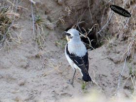 野鸟摄影的要领——松懈野鸟的警惕性
